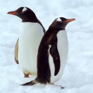 Gentoo penguins, Port Lockroy, Antarctica