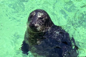 Athos, the Star Harbor Seal