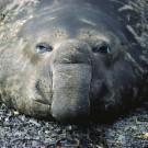Southern elephant seal, Bird Island