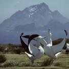 Wandering Albatross dance