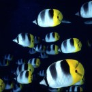 Bora Bora butterfly fish