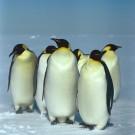 Gang of Emperor Penguins
