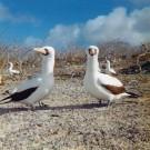 Masked Boobies, Galapagos