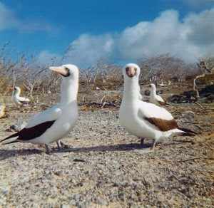 Masked Boobies, Galapagos Islands